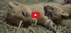 These Adorable Lion Cubs are Sure to Take Away Your Blues! This lovely video has got cute written all over it!