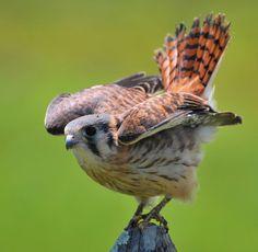 Foto quiriquiri (Falco sparverius) por Paulo Fenalti   Wiki Aves - A Enciclopédia das Aves do Brasil