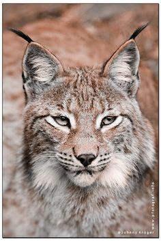 """Lynx Portrait"" by Johnny Krüger"