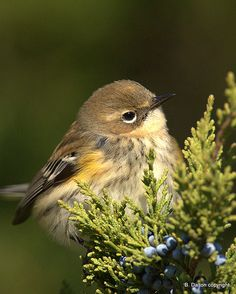 Little Yellow-rumped Warbler