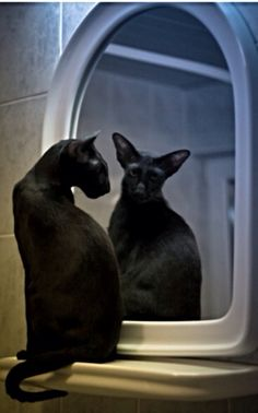 Omg give me all of them. Oriental shorthairs are my new obsession