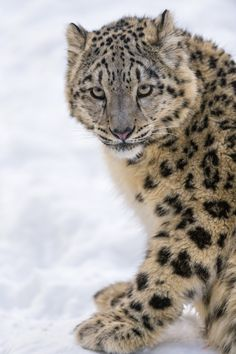 Okara | Tambako snow leopard