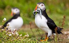 Puffins, Skomer Island, pictures of Wales