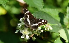 White Admiral feeding with open wings on bramble Bradfield woods Suffolk Limenitis camilla Open Wings, Bramble, Camilla, Butterflies, Woods, Woodland Forest, Butterfly, Forests, Wood