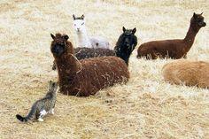 alpaca&cat