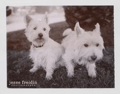 2 Cairn Terriers, Polaroid Sepia film, Fuji Fotorama instant camera. (award-winning dog photography)