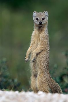 Yellow mongoose, referred to as the red meerkat