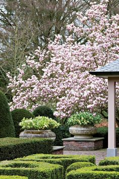 Tulip Magnolia Tree in Bloom Blooming Trees, Flowering Trees, Formal Gardens, Outdoor Gardens, Beautiful Gardens, Beautiful Flowers, Beautiful Wall, Jardin Decor, Formal Garden Design