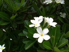File:Plumeria White.jpg