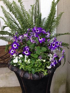 Spring container. Half of a fern, 3 viola plants and one purple senetti.