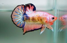 betta splendens - Google Search