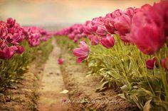 Splendiferous Tulips