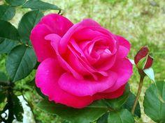 rose by redheadedshedevil.deviantart.com on @deviantART