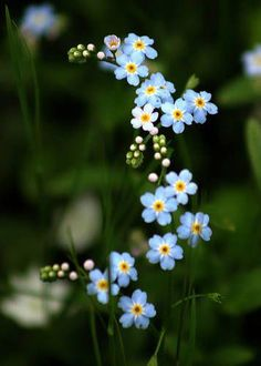 Alaska State Flower – Forget-Me-Not – Myosotis Alpestris Subsp. Asiatica Alaska State Flower – Forget-Me-Not – Myosotis Alpestris Subsp. My Flower, Pretty Flowers, Wild Flowers, Colorful Flowers, Photos Of Flowers, Forget Me Nots Flowers, Purple Flowers, Tropical Flowers, Flower Pictures