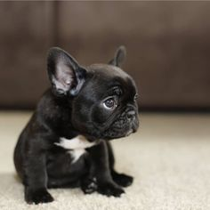 The major breeds of bulldogs are English bulldog, American bulldog, and French bulldog. The bulldog has a broad shoulder which matches with the head. Mini French Bulldogs, French Bulldog Puppies, Cute Dogs And Puppies, Frenchie Puppies, Doggies, Pet Dogs, French Bulldog Blue, Corgi Puppies, English Bulldogs