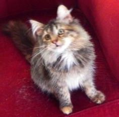 Flossie is an adoptable Maine Coon Cat in Malibu, CA. Hi, My name is Flossie, and I'm just one cute little Maine Coon mix girl. I'm happy, healthy, and playful, and I love dogs and other cats, and hum...