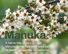 The Manuka plant. Honey produced from the Manuka flower has proven to have many healing and antibacterial properties.