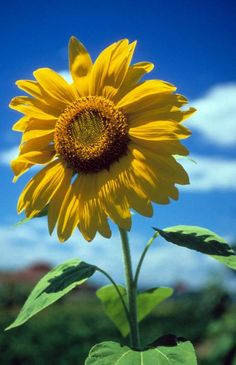 Sussex County Sunflower by Laurie Paci