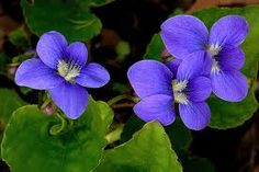 State Flower: Common Meadow Violet