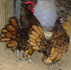 sebright chickens   http://www.backyardchickens.com/forum/uploads/13569_show_sebrights.jpg