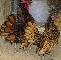 sebright chickens | http://www.backyardchickens.com/forum/uploads/13569_show_sebrights.jpg