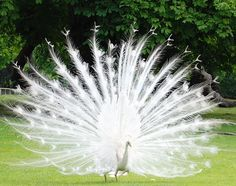 These majestically beautiful creatures are a rare species of the peacock. White peacocks are not albinos; they have a genetic mutation that is known as Leucism, which causes the lack of pigments in the plumage.