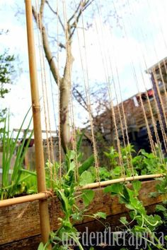 Peas growing up trellis (Medium)