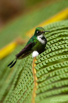 funkysafari:.Booted Racket-tail - Mindo Cloud Forest, Ecuador by Jarrett Wyant