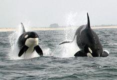 orcas porposing