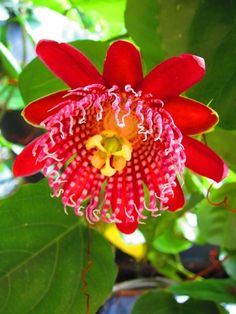 Wonderful Flowers, Love Flowers, Flower Close Up, Love Garden, Garden Ideas, Unique Plants, Flowering Vines, Passion Flower, Flower Centerpieces