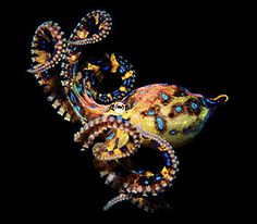 Found in the ocean waters of Australia, the Blue-ringed Octopus