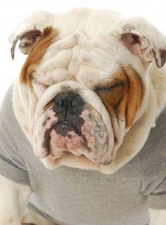 bulldog macho