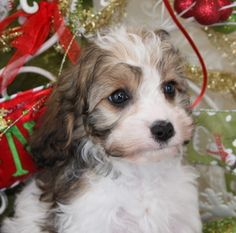 Pupy Training Treats - Cavachon Puppy Foxglove Farm - How to train a puppy? Cavachon Puppies, Cavapoo, Puppy Teething, Puppy Training Tips, New Puppy, Dog Love, Dogs And Puppies, Cute Pictures, Your Dog
