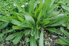 Miért ne használnánk ma is őseink tudását? Plantain Herb, Taraxacum Officinale, Real Salt, Urban Homesteading, Edible Plants, Dark Places, Medicinal Plants, Alternative Medicine, Natural Medicine