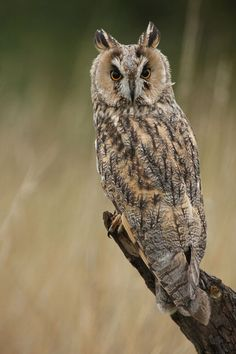"""Long Eared Owl"" by Pat Walker, via 500px."