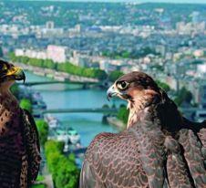Un documentaire sur la vie sauvage à Paris Un film raconté par Audrey Fleurot à voir en ligne