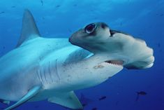 Hammer head shark!!! One cool shark!!!!