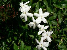 night-blooming jasmine.