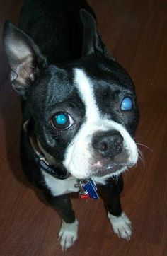 Meet Roxy a Petfinder adoptable Boston Terrier Dog | Sistersville, WV | You can fill out an adoption application online on our official website.Roxy came to us because her...
