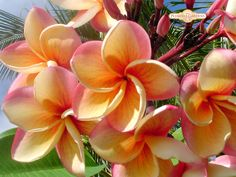 Plumerias come in the white/yellow colors, pinks and deep cherry red. They're all gorgeous.