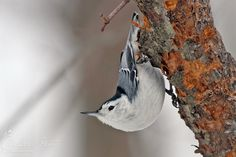 White-breasted nuthatches breed old-growth woodlands across ...