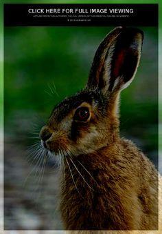 hare-08.jpg (445×640)