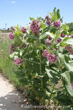 Showy Milkweed Plants (Colorado Flower)