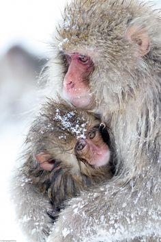 Snow Monkey snuggles (xpost from r/pics) http://ift.tt/2hyg60L