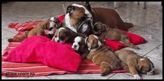 ❤ Wrinkles, wee butts, tiny feet & little nubbies. Mom has a group to watch over. ❤ Posted on I love English Bulldogs