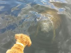 Dog Bella looks down at a Manatee. Join See Manatees Guaranteed for a fascinating 1½-hour private eco-tour by boat to a remote manatee hideout in the Florida Everglades. Naples, Florida