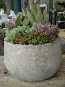 Light Weight Concrete Bowl Purple Succulents, Cacti And Succulents, Planting Succulents, Cactus Plants, Planting Flowers, Succulent Arrangements, Succulent Bowls, Succulent Gardening, Succulent Terrarium