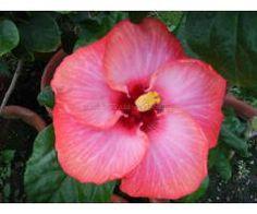 Hibiscus 022