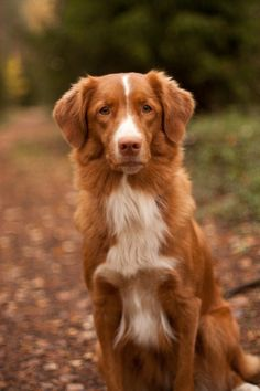 toller dog - Google Search