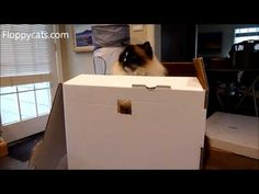 Ragdoll Cats Receive Kitty Cubby Cardboard Cat House - ねこ - ラグドール - Floppycats	https://youtu.be/d5w01GiZWjM